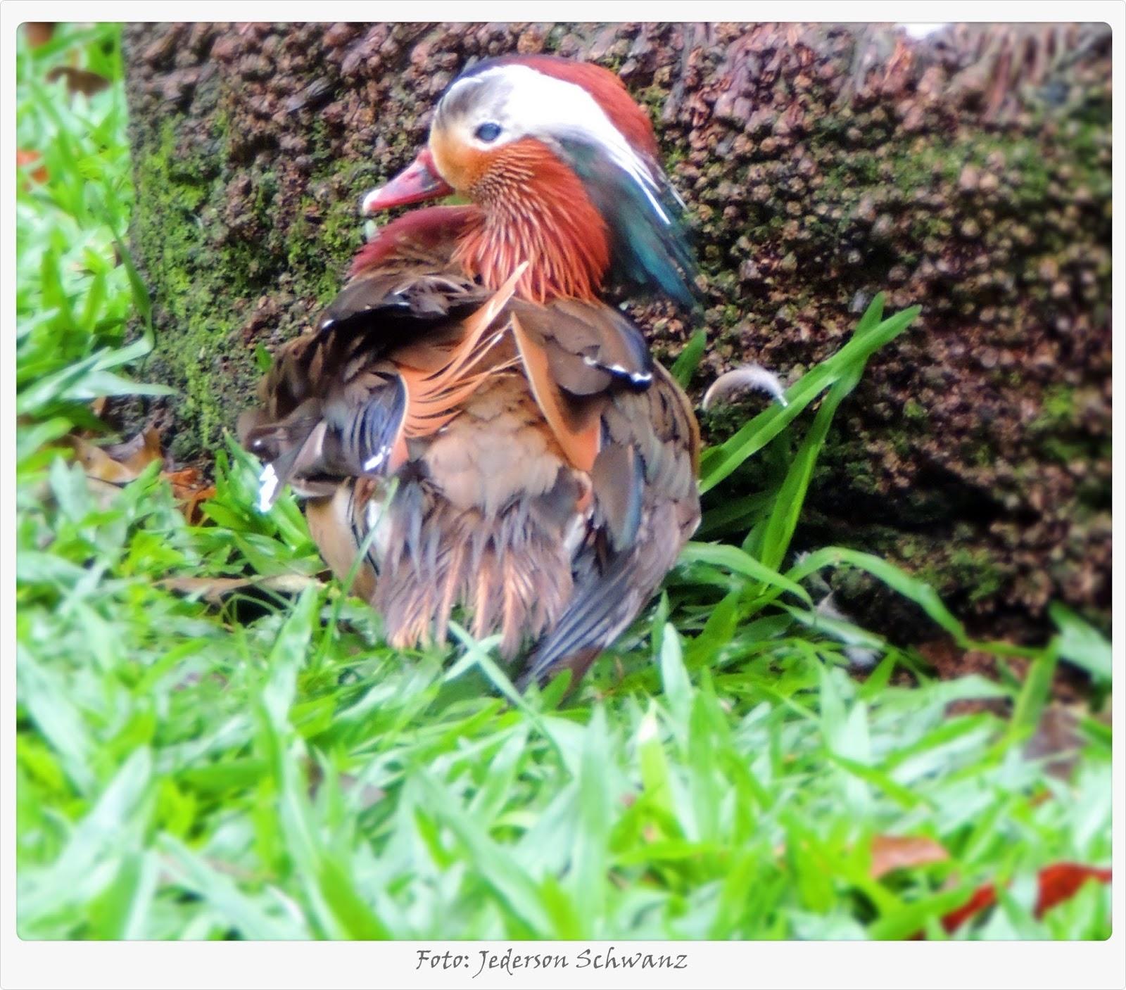 pássaros e nossa terra marreco mandarim macho aix