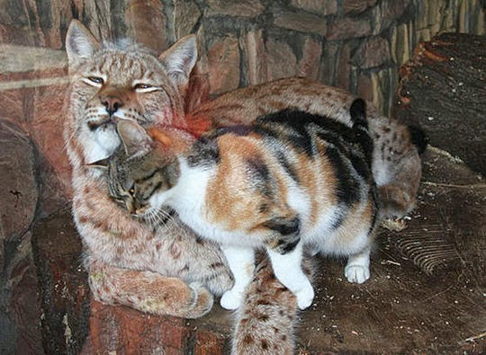 lynx and cat friends