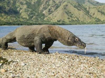 Komodo atau Biawak Varanus komodoensis hewan khas Indonesia - berbagaireviews.com