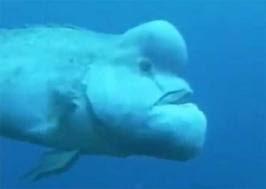 wonderful animals blobfish
