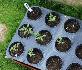Tomato seedlings ready for planting into the raised beds