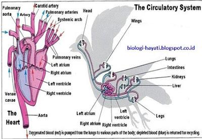Sistem Peredaran Darah Burung