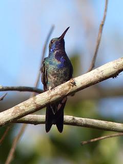 Colibri jacobin - Florisuga mellivora - Jacobine