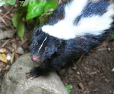 Mrs. Rose, a Darling Skunk