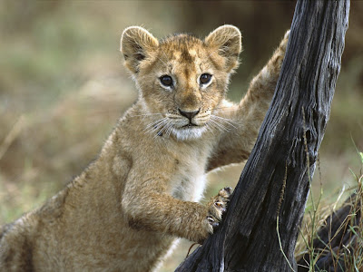 Lion Cub Normal Desktop Backgrounds,Stills,Wallpapers