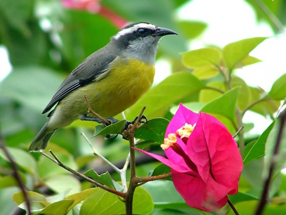 طيور نــادرة رائــــــعة 550px-Bananaquit.jpg