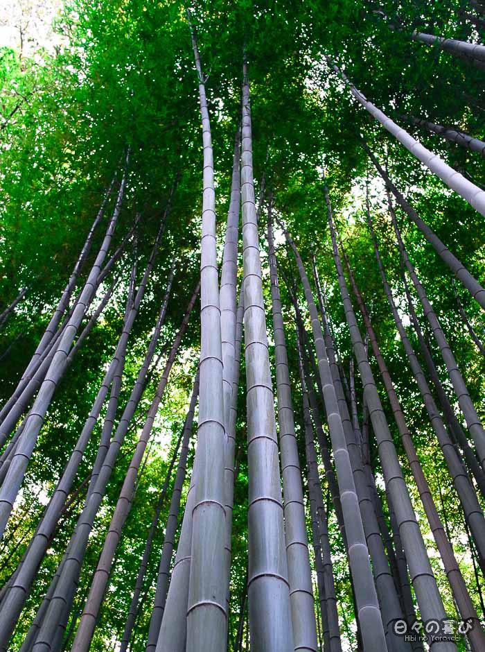 troncs de bambous s'élançant vers le ciel, bambouseraie d'Arashiyama, Kyoto