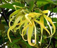 Kenanga [Canangium odoratum (Lamk.) Hook & Thomas]