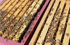 Δύο μελισσοκομικές μέθοδοι για μεγάλη ανάπτυξη των μελισσιών