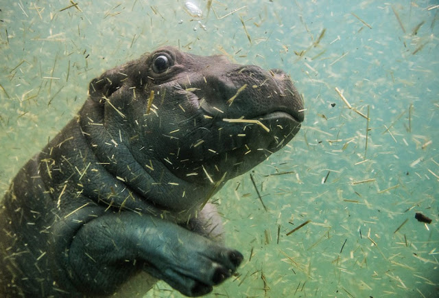 В бассейне с гиппопотамом в пражском зоопарке