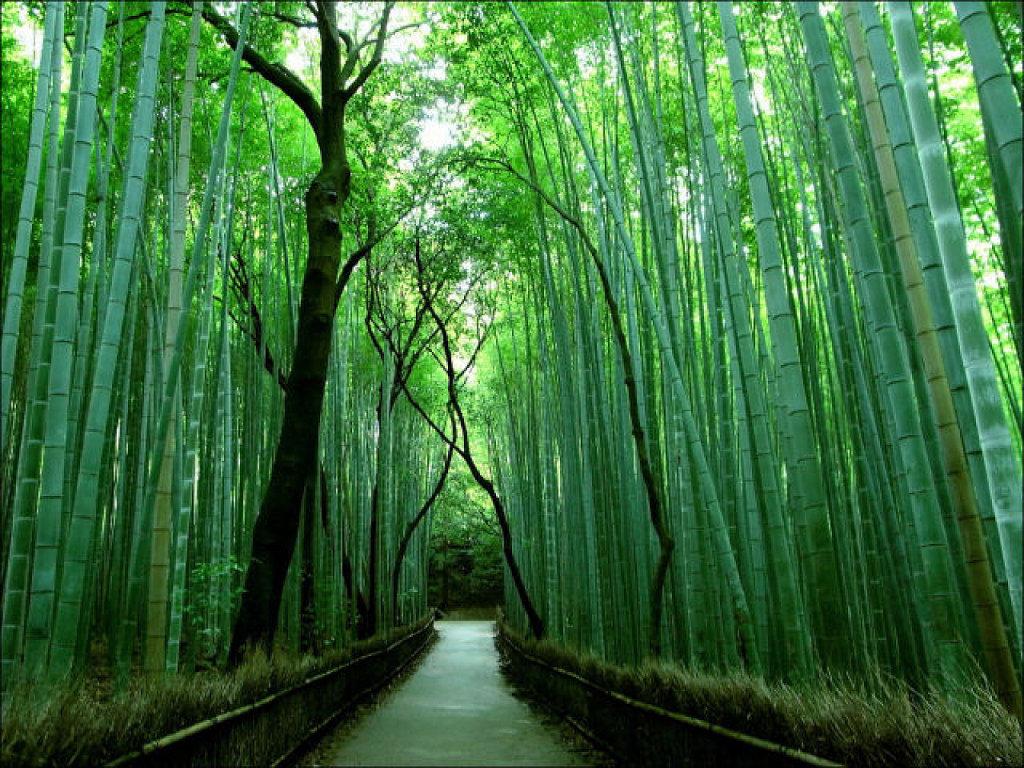 Maravilloso Bosque de Bambú, Kyoto 2