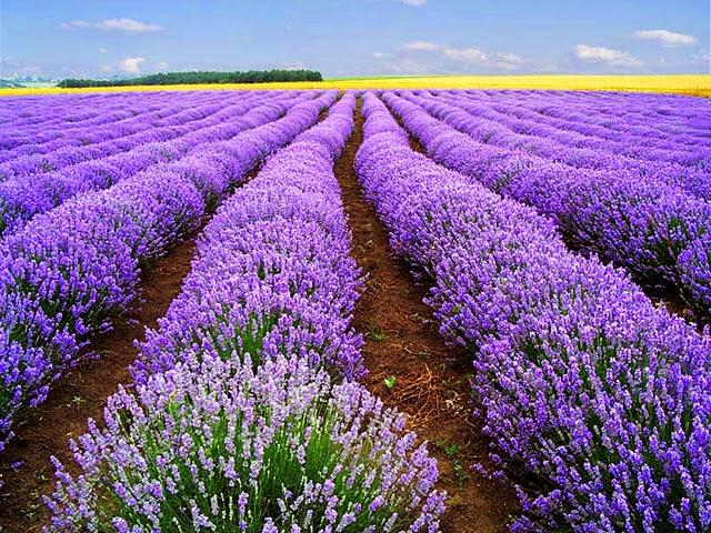 Ý nghĩa của hoa oải hương - tượng trưng cho điều gì, có nên mua tặng người mình yêu