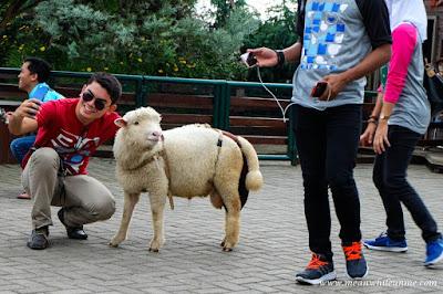Ngenyot Ngedot Ngempeng Susu di Farmhouse Susu Lembang, Bandung selfie domba