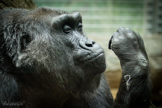 Visiting Great Grandmother Colo Gorilla