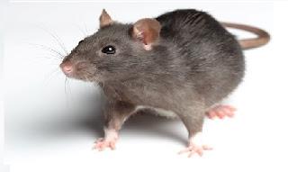 بحث حول حيوان الفأر