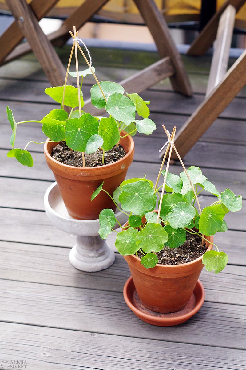 aliciasivert alicia sivert sivertsson trädgård balkongodling odla på balkong spaljé klätterväxt klätterväxter krasse trefot