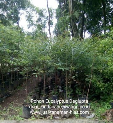 jual bibit pohon eucalyptus deglupta | pohon pelindung
