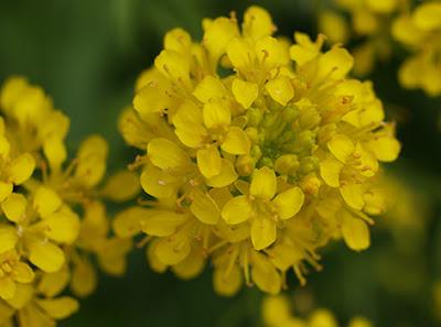Flores amarillas de Oruga palustre (Rorippa sylvestris)