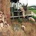 Γουρούνια θαμμένα ζωντανά, επειδή είναι ακατάλληλα για κατανάλωση