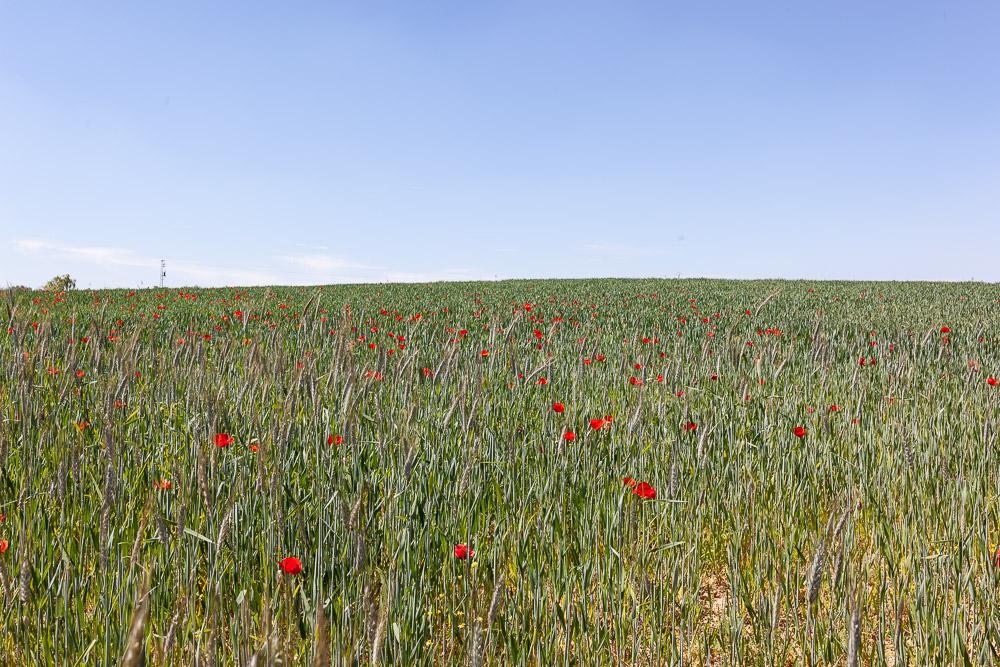 Poppy field in Andalucia