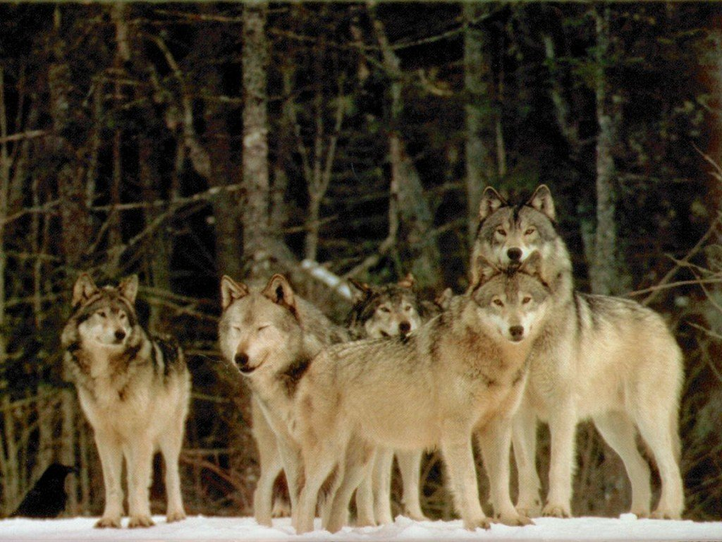 biggest wolf in the world - photo #19