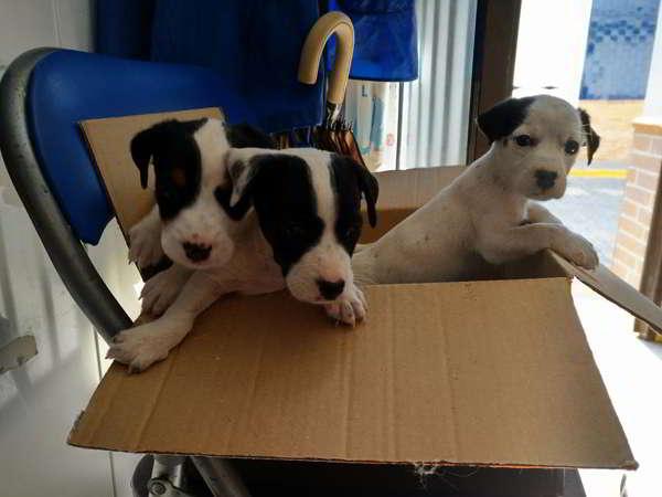 cachorros cruce bodeguero