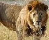 Short Essay on 'Lion' in Hindi   'Sher' par Nibandh (100 Words)