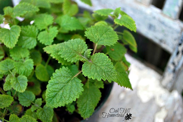 Lemon balm, a fragrant herb