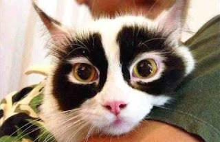 Zoro cat