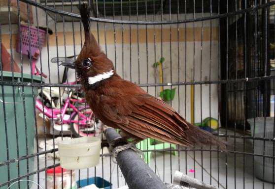 Tips Merawat Burung Cililin