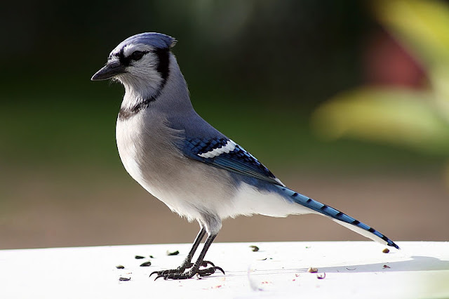 blue-jay-list-trend
