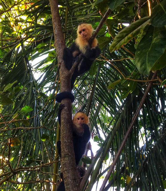 White face monkeys in Costa Rica