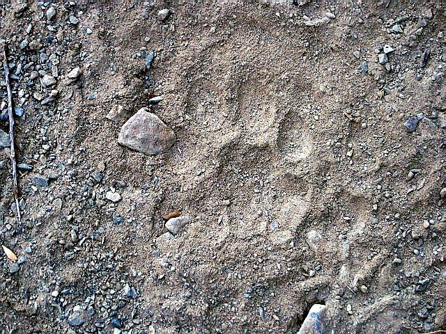 Tracks & Signs: Snow Leopard paw print