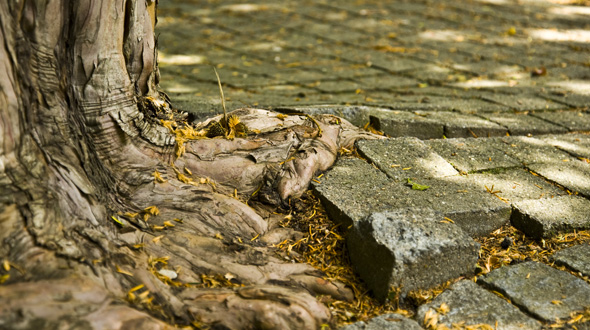 Invasive tree roots buckle driveway