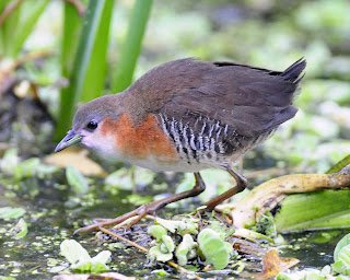Rufous sided Crake