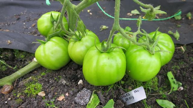 Санька, томаты, помидоры, сорта томатов, красные томаты, аленин сад