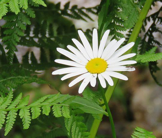 Stokrotnica górska (Bellidiastrum michelii).