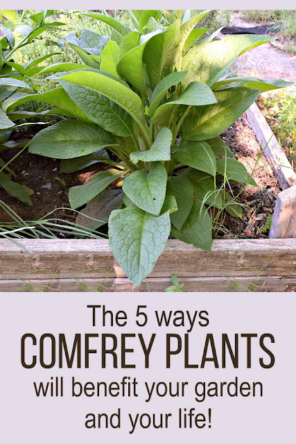 Comfrey is an amazing plant and it deserves a place in your garden. Here are 5 ways comfrey will benefit your garden and your life!
