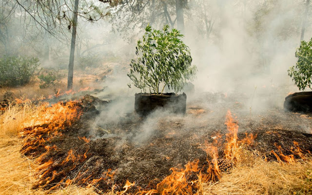 How Can Wildfire Affect Your Cannabis Crop?