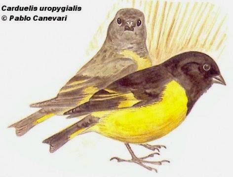 Cabecita negra andino, Sporagra uropygialis