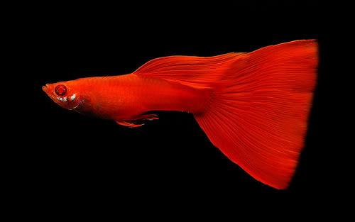 Cara Memilih Ikan Guppy Untuk Kontes Kriteria Penilaiannya Aqua Ama