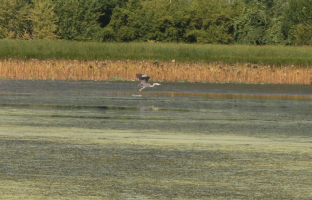 Great Blue Heron lifts off at Nahant Marsh in Davenport, Iowa
