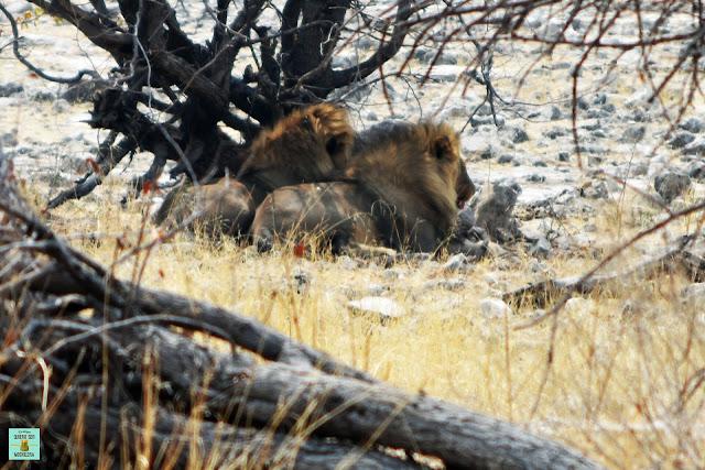 Leones en Parque Nacional de Etosha, Namibia
