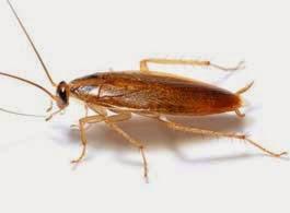 Como preparar el acido borico para las cucarachas