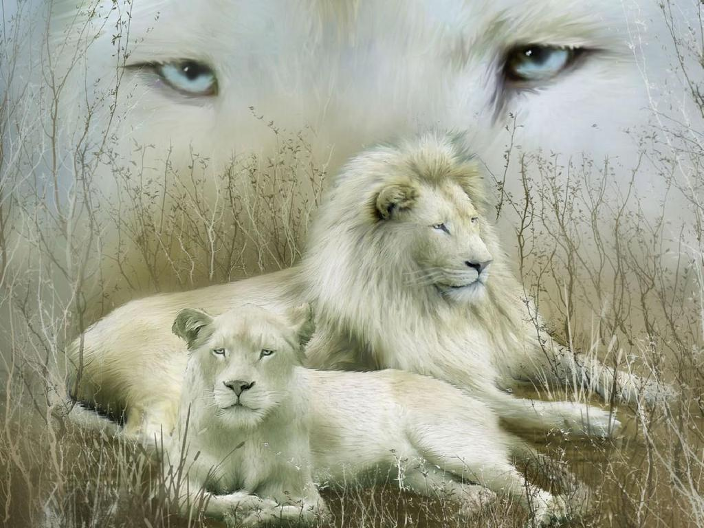 Wallpaper Hd White Lion