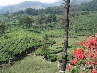 Tea Estate View