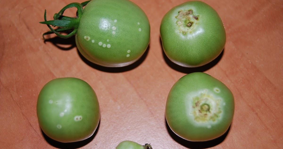 Cancerul bacterian al tomatelor - boli-la-tomate-vinete-si-ardei-simptome-prevenire-si-combatere