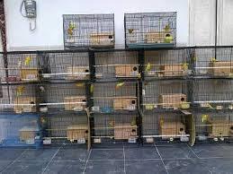 Meski di alam liar Lovebird dikenal sebagai burung setia alias monogami Ternak Lovebird Dengan Poligami