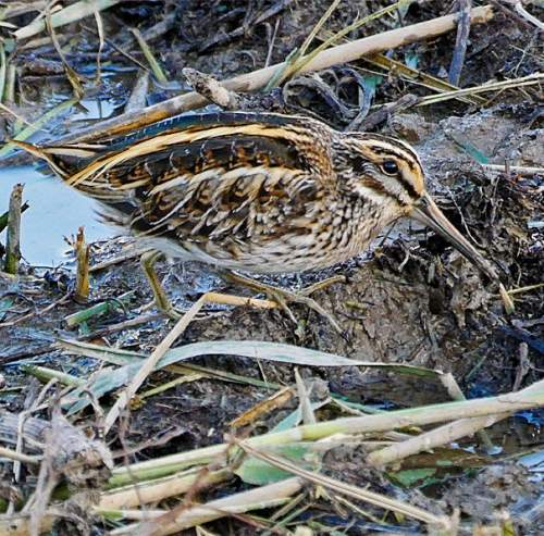 Birds of India - Photo of Jack snipe - Lymnocryptes minimus