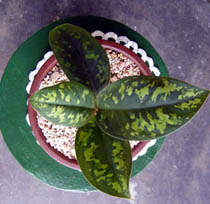 Allah-Name-Appears-on-an-Aglaonema-Plant